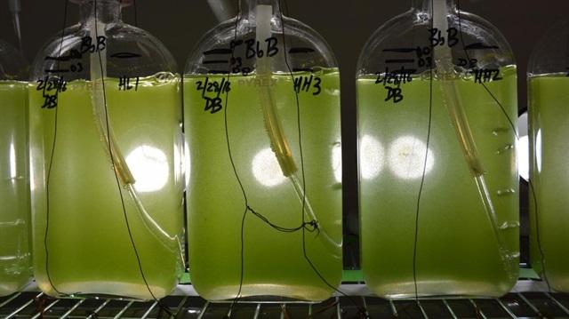 yosunlardan-enerji-uretimi-basladi