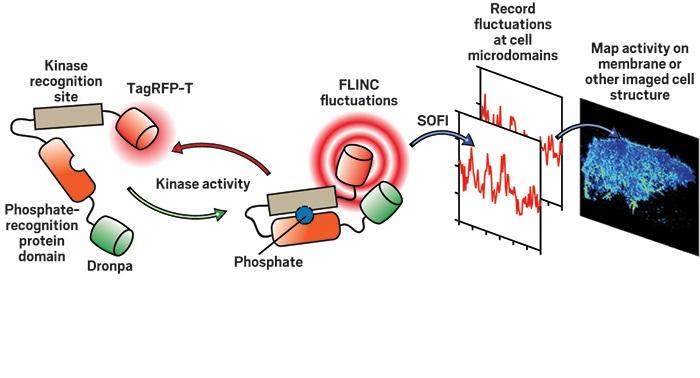 biyosensorler lokalize hucre aktivitesinin goruntulenmesini sagliyor - Biyosensörler Lokalize Hücre Aktivitesinin Görüntülenmesini Sağlıyor