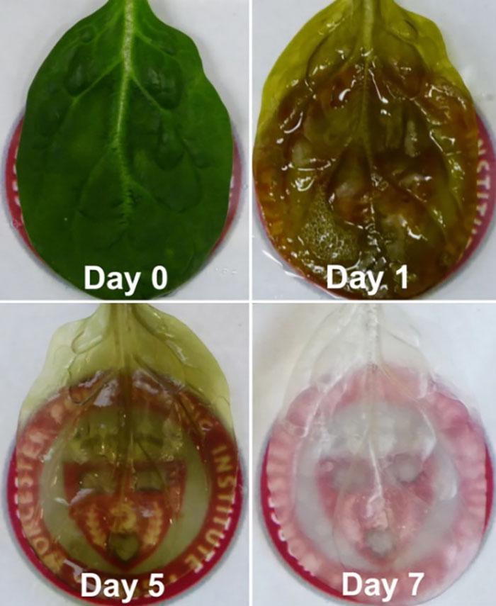 ispanak yapraklarindan yetismis insan kalp dokusu - Ispanak Yapraklarından Yetişmiş İnsan Kalp Dokusu