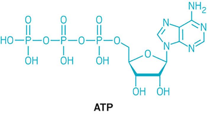 ATP için Öne Sürülen Hücrelerin Yeni Rolü