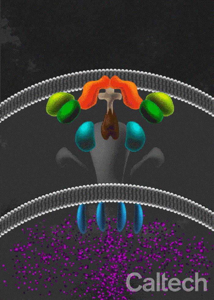 Bilimadamları Ölümcül Bir Silah Olan Bakteriyel Toksinlerin Gizemini Öğrendiler