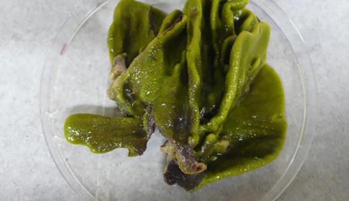 Toksik Yangın Söndürücü için Bileşik Üreten Bakteri