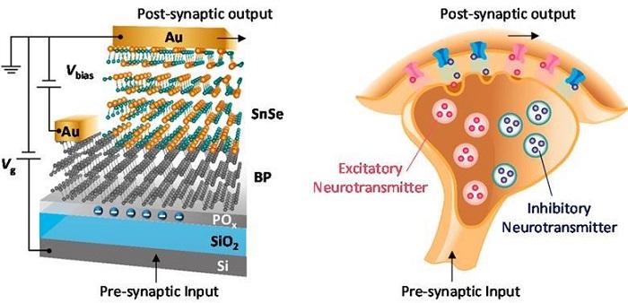 Çift Yönlü Yapay Sinaps Beyin Kimyasını Taklit Ediyor