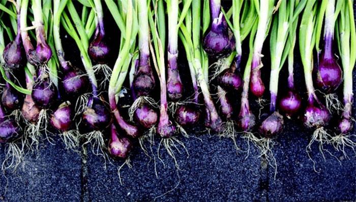 flavonoidlerde zengin olan organik sogan - Flavonoidlerde Zengin Olan Organik Soğan