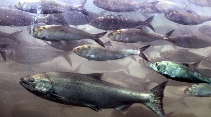 okyanus asitlesmesi somonlarin yirticilari hissetmesini engelliyor - Okyanus Asitleşmesi Somonların Yırtıcıları Hissetmesini Engelliyor