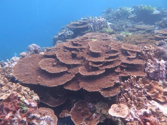 Büyük Set Resif Mercanları Plastik Yiyebiliyor