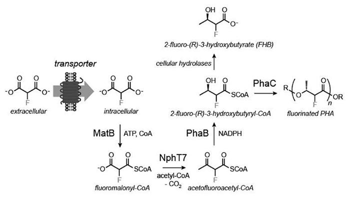 Hücre Kullanımında Bir İlk: Bakterilerden Florlanmış Biyoplastik Üretimi!